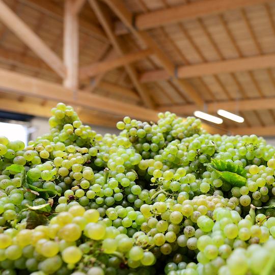 Le raisin, l'élément essentiel pour la création du champagne